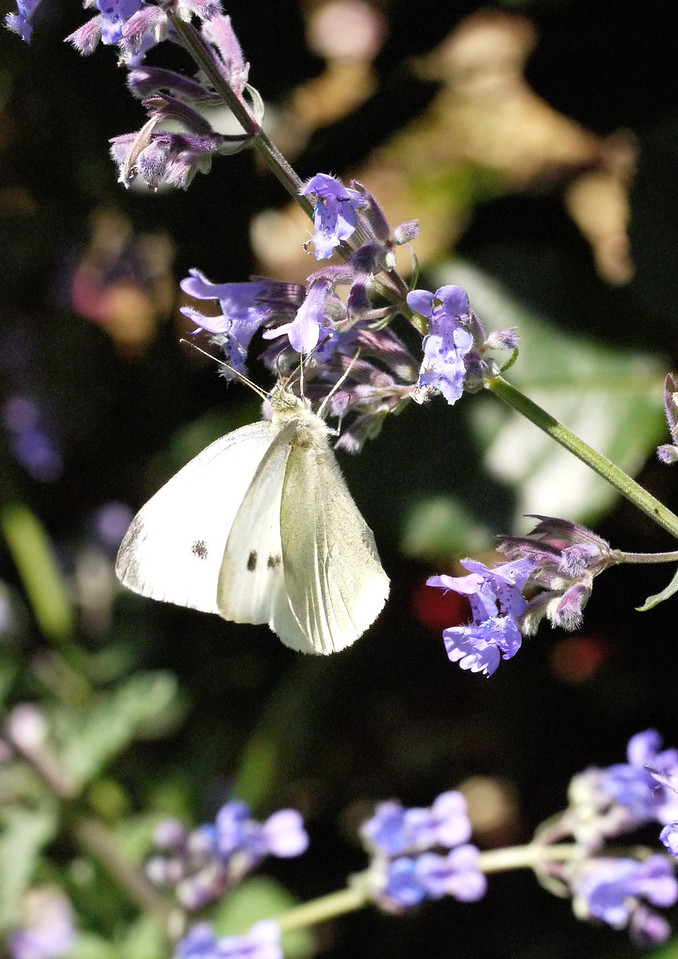 20131105_1053_0077 butterfly (Ivanhoe Park)