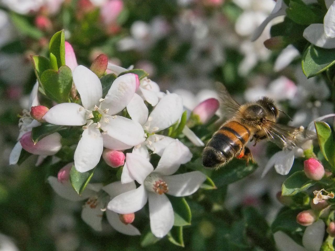 20130901_1217_1700 Kew Baptist bee