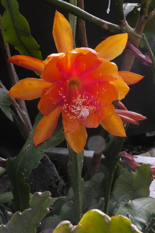 20131116_0757_2833 epiphyllum