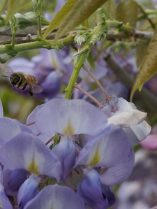 20130929_1601_4732 wisteria and bee