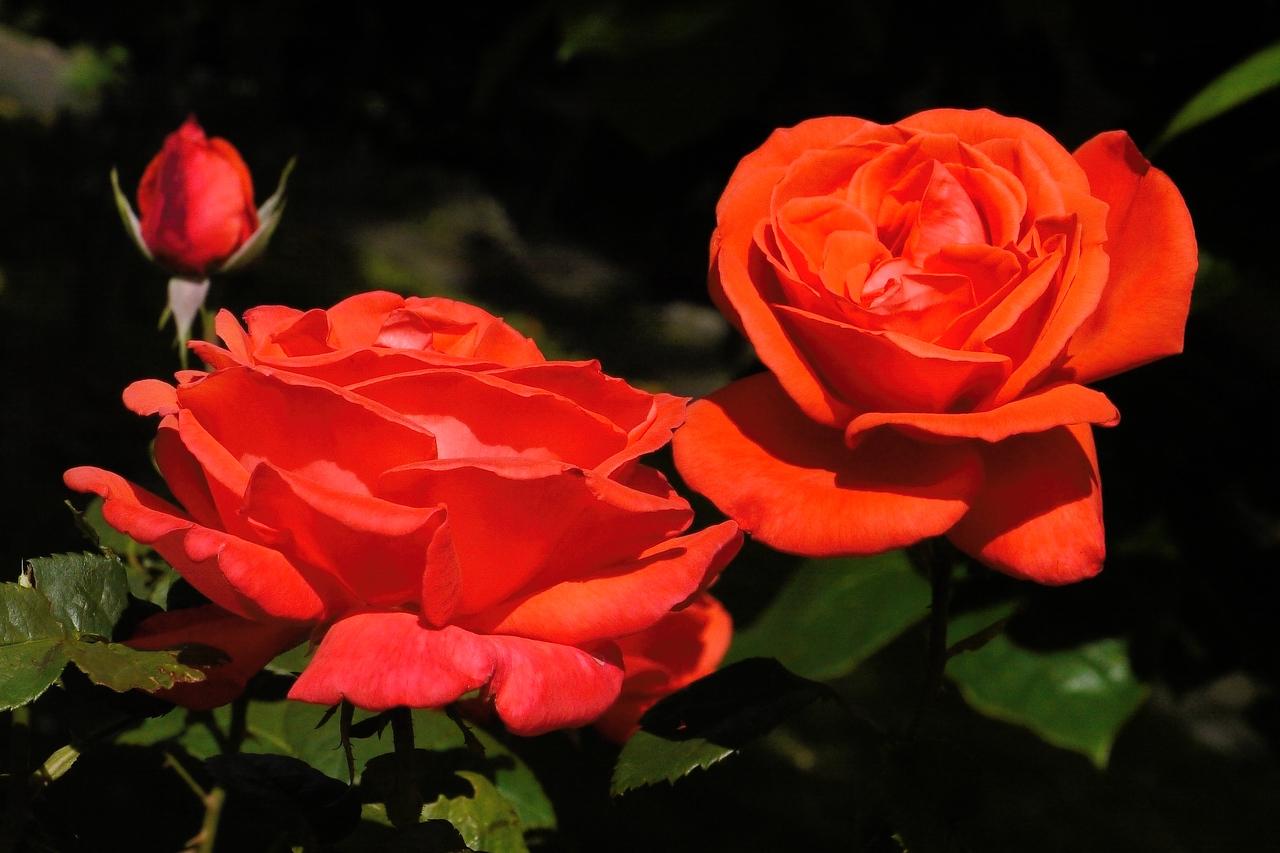 20131103_1021_2671 roses