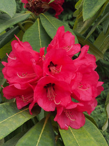 20130914_1544_2781 rhododendron