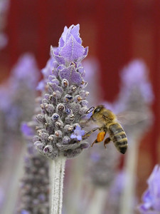 20130924_1211_0447 lavender and bee