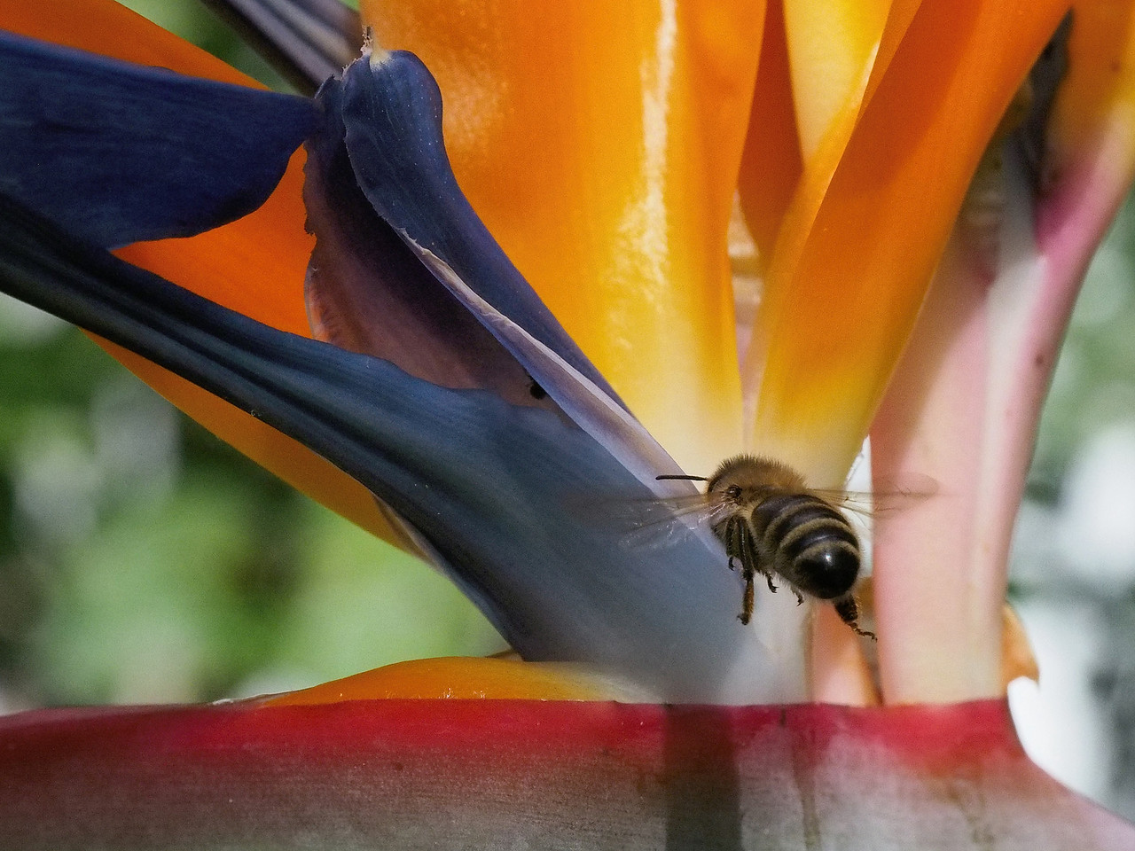 20131121_1513_0482 bee and bird of paradise