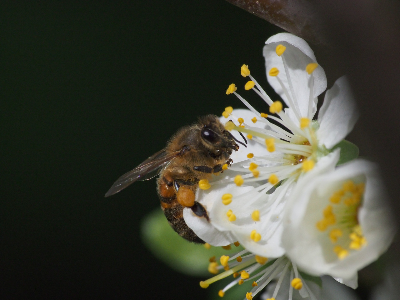 20130907_1311_1317  plum blossom bee