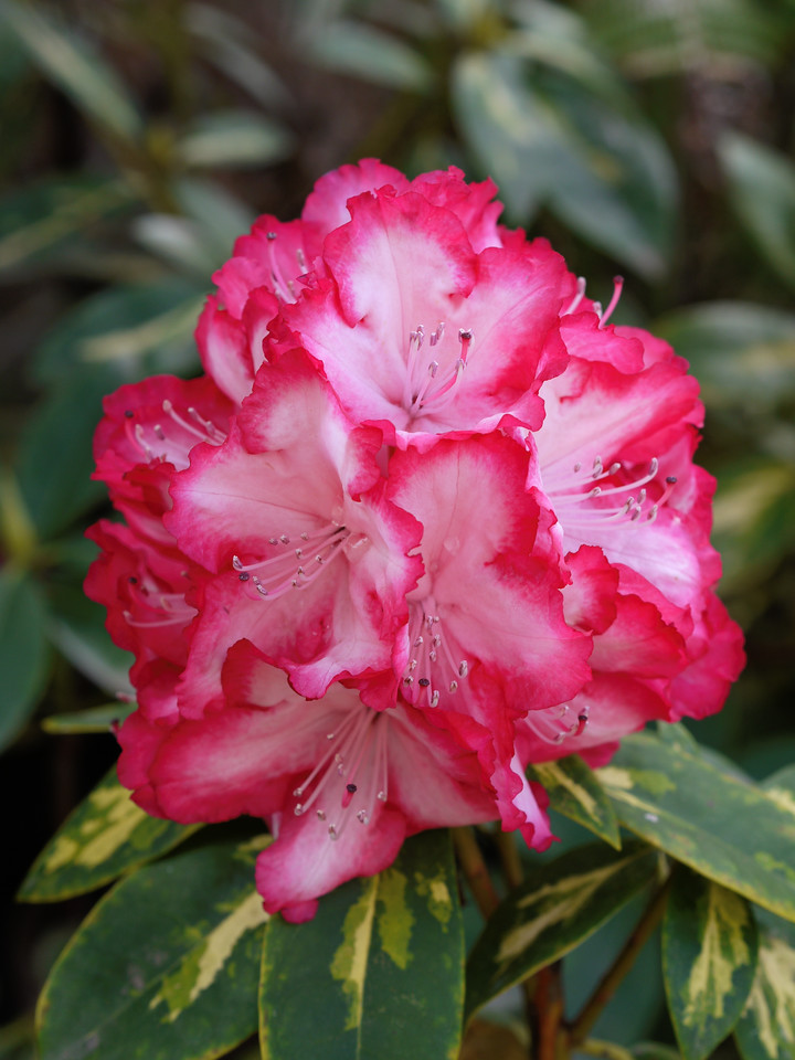 20130907_0959_0182 rhododendron