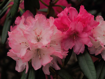 20130914_1447_2712 rhododendron