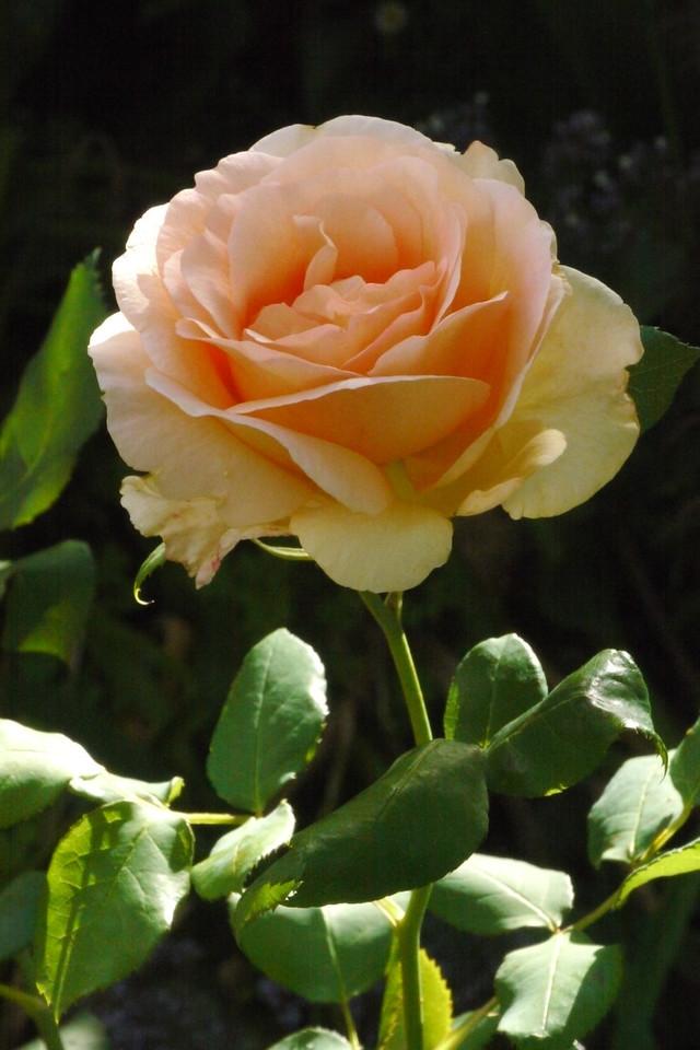 20131117_0903_2918 rose