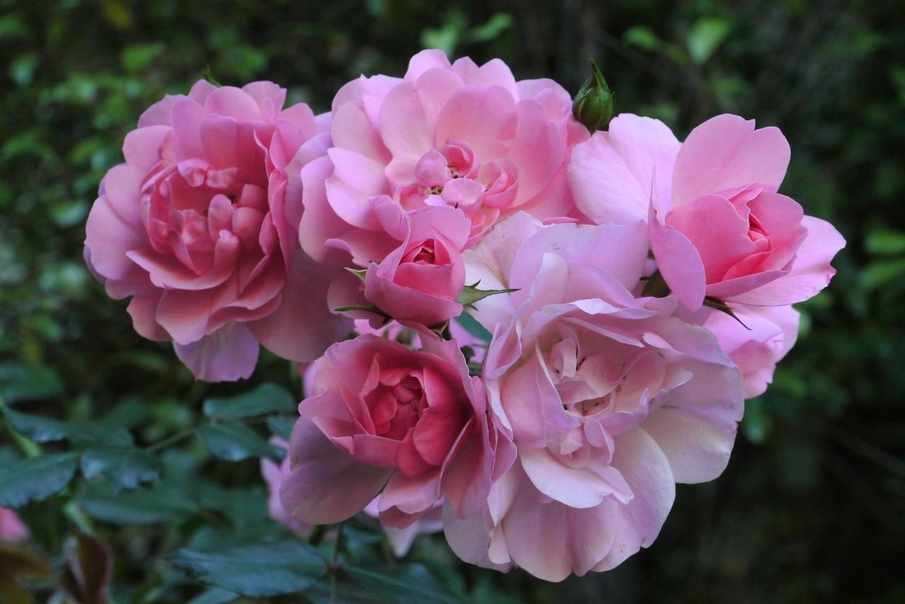 20131106_0856_2678 roses