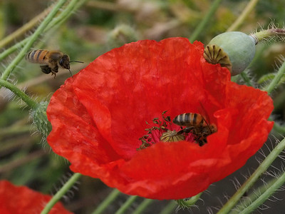 20131130_0827_0533 bees and poppy