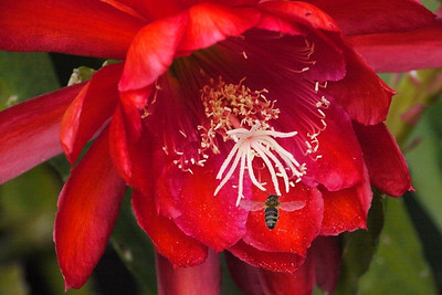 20131127_0727_4843 epiphyllum and bee