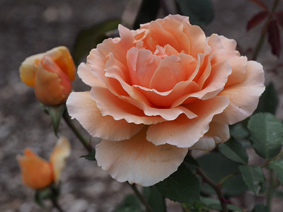 20131130_1122_0588 rose (Heidelberg Park, Heidelberg)