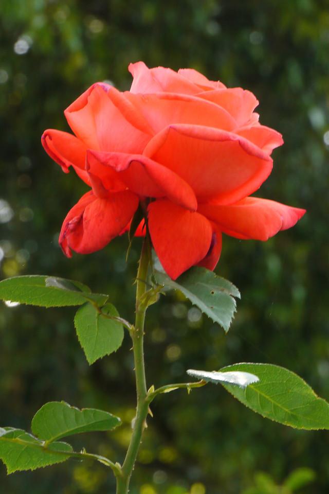 20131127_0918_4867 rose