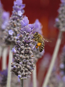 20130924_1210_0435 lavender and bee
