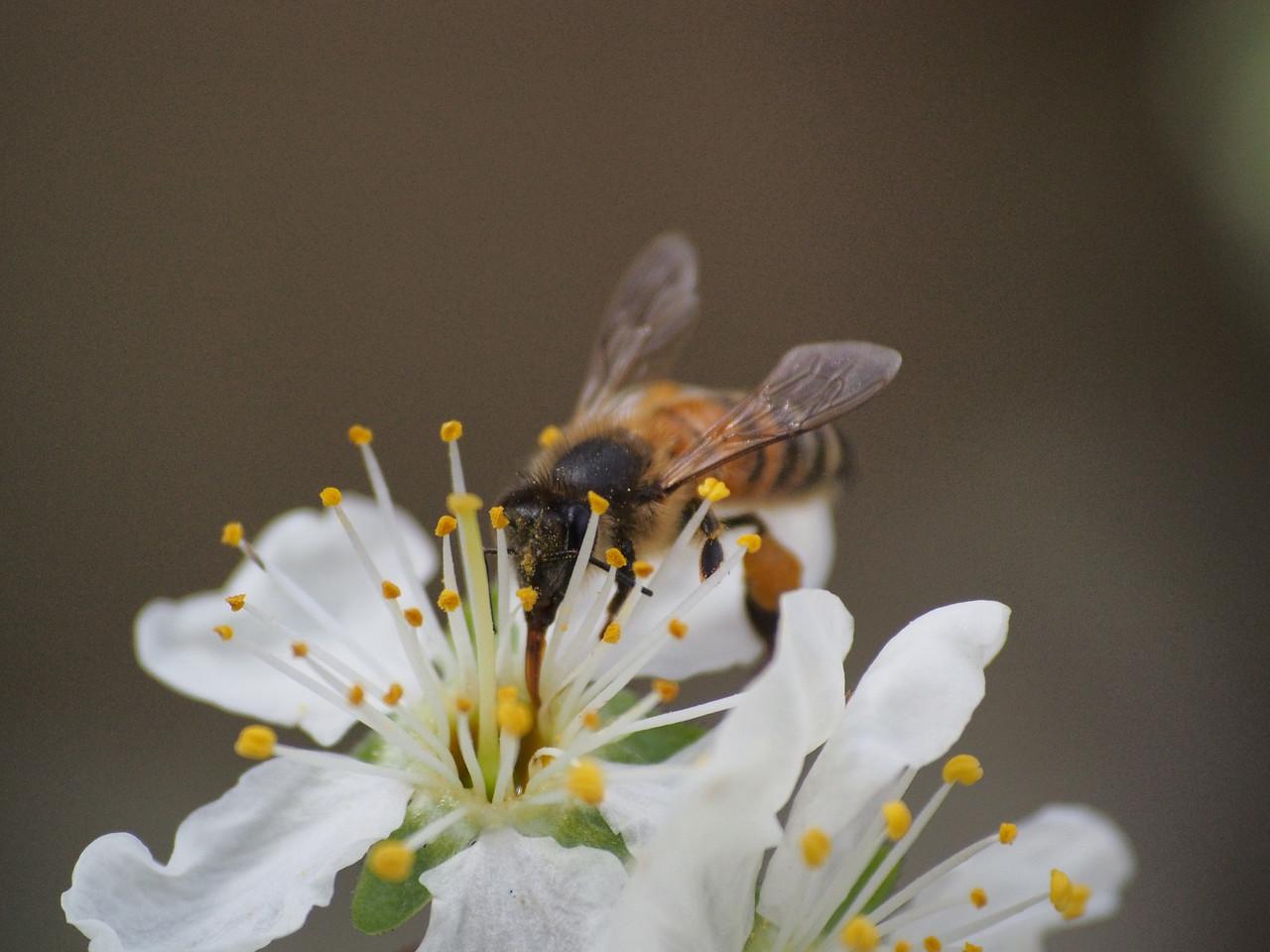 20130907_1311_1305 plum blossom bee