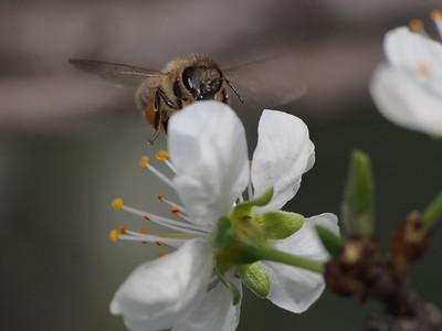 20130912_1341_2673 plum blossom bee