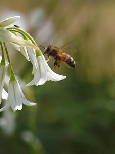 20130921_1104_0301 angled onion bee