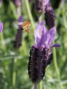 20130929_1458_4659 lavender and bee