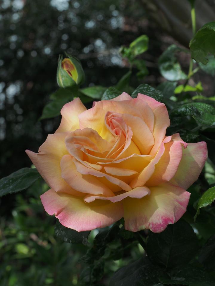 20131003_1502_4744 rose