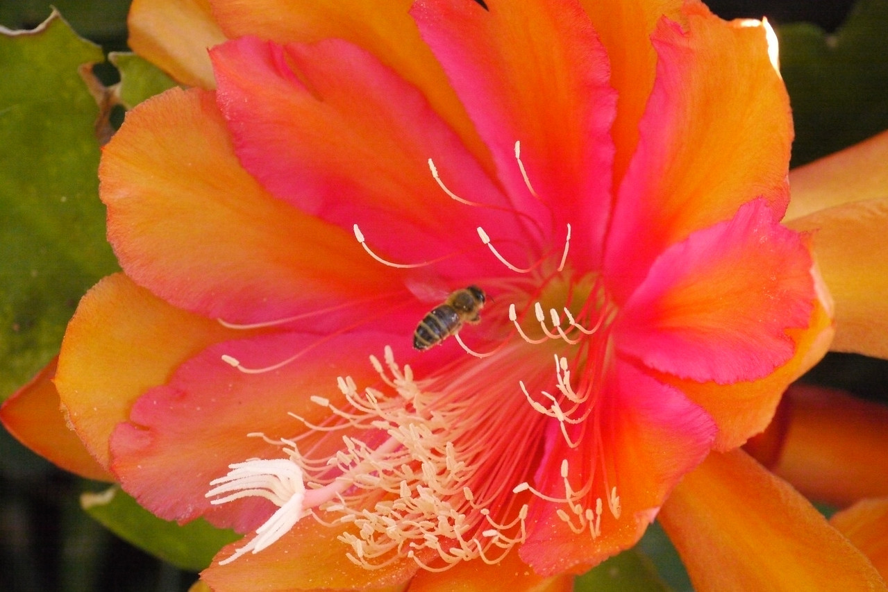 20131119_0750_2995 epiphyllum and bee