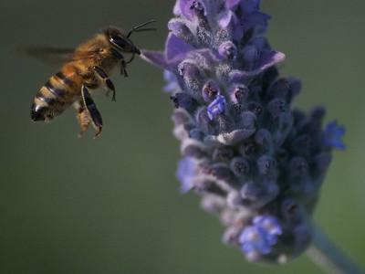 20130915_1611_3344 lavender bee