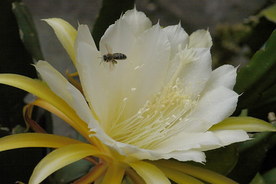 20131130_0820_4983 epiphyllum and bee