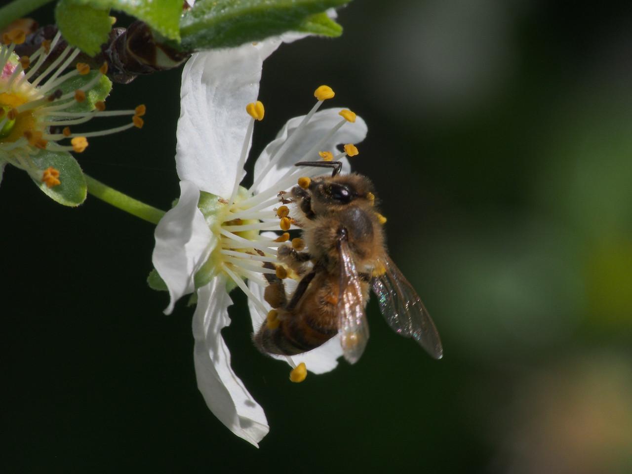 20130912_1333_2651 plum blossom bee