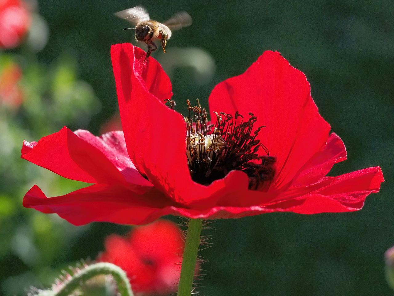 20131119_0714_9390 bee and poppy