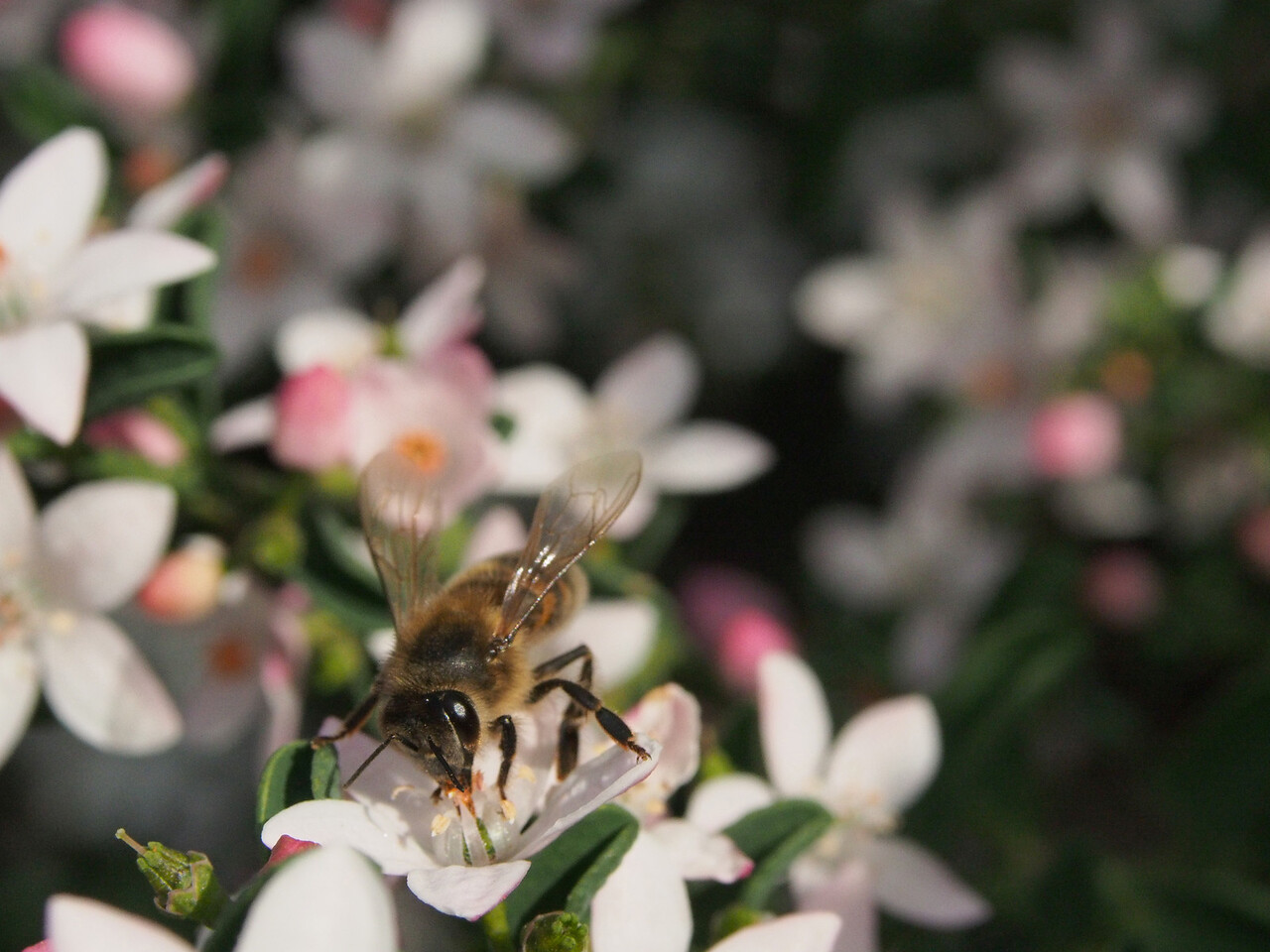 20130901_1226_1815 Kew Baptist bee