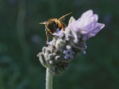 20130109_1307_1034 Kew RSL bee