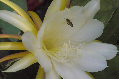 20131126_0943_4763 epiphyllum and bee