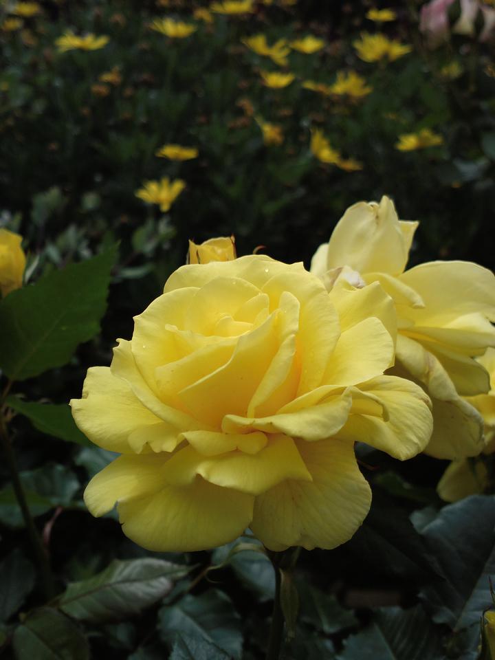 20131029_1240_0276 rose (Kensington, The Ridgeway)