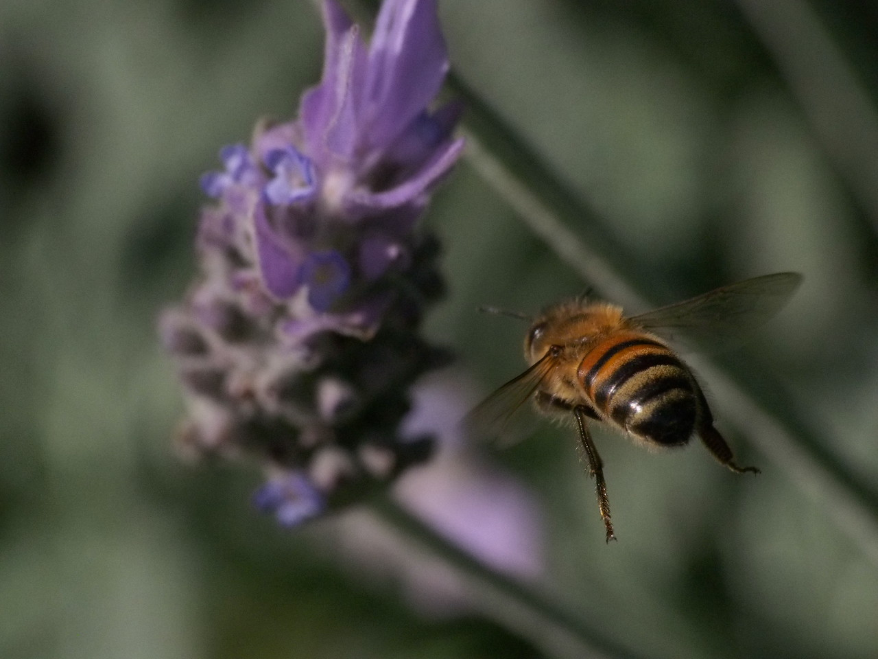 20130915_1614_3424 lavender and bee