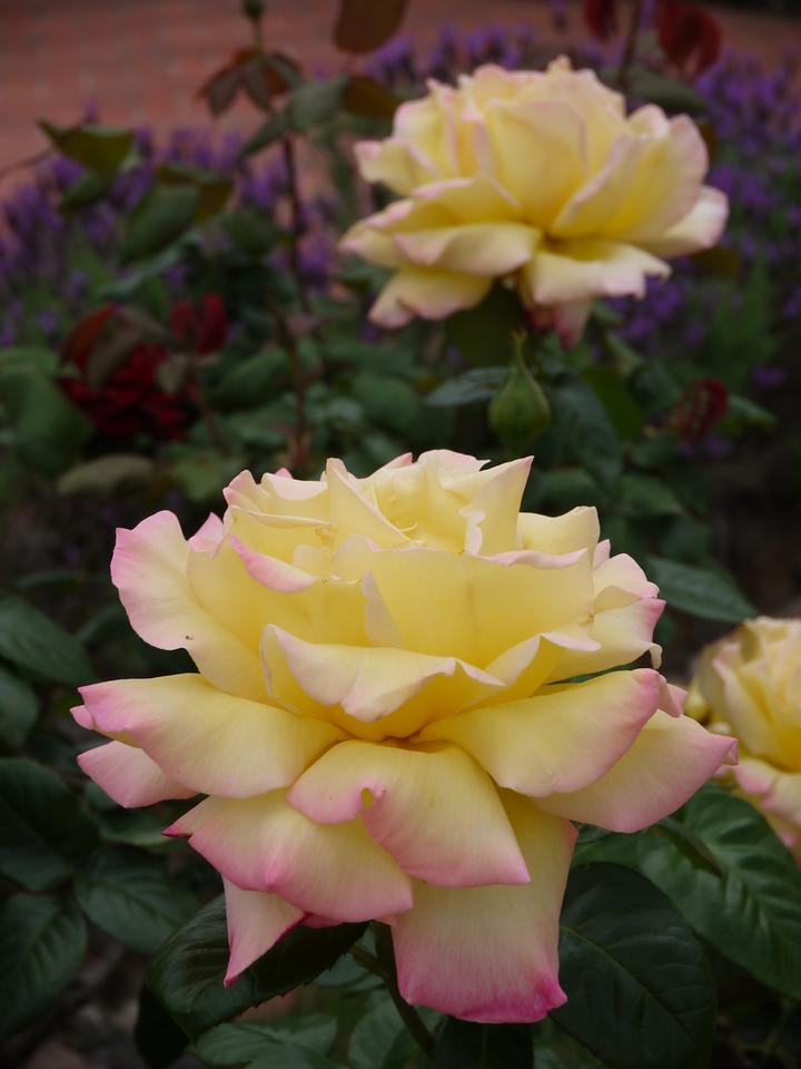 20131005_1200_0477 roses