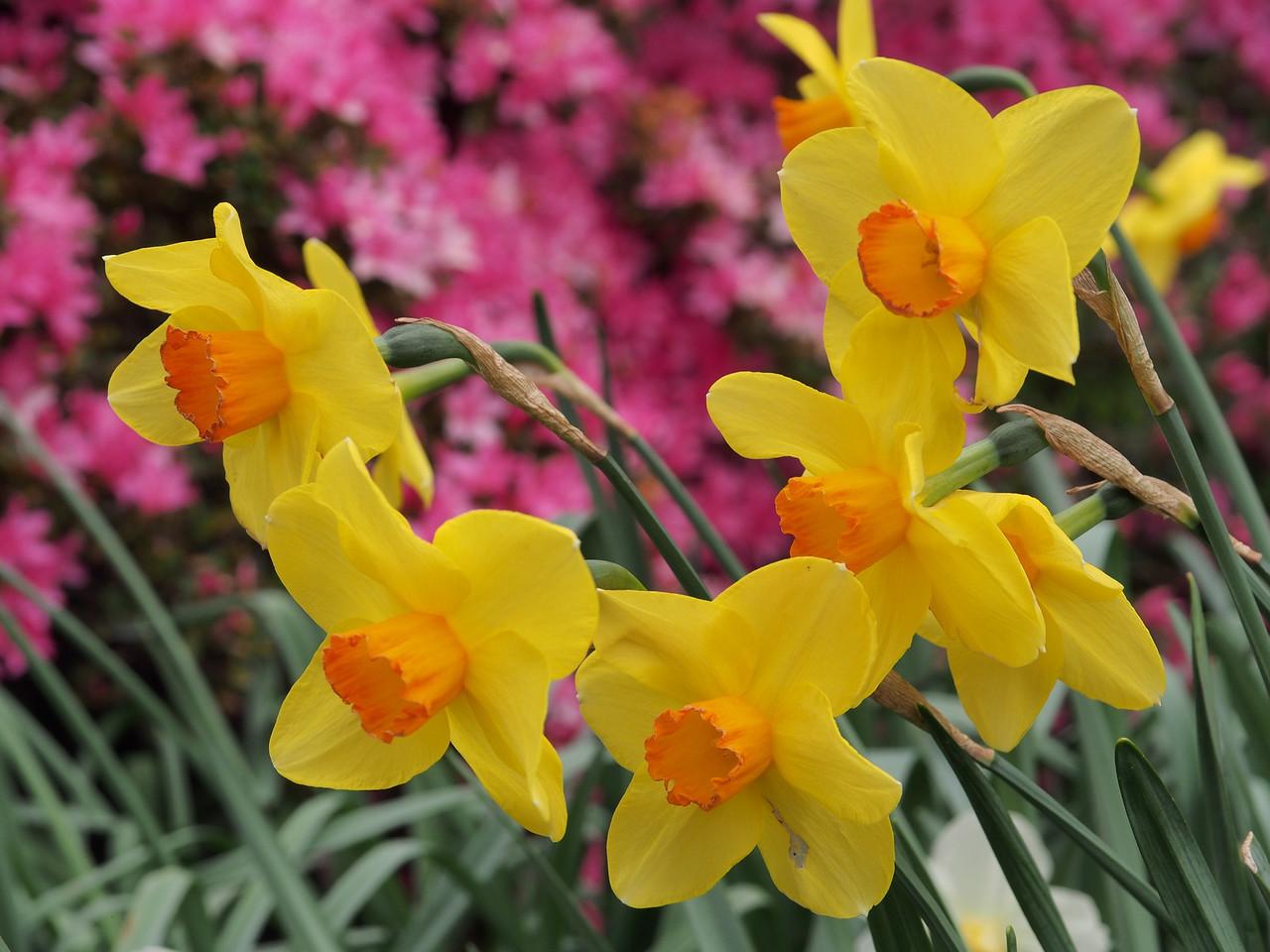 20130914_1558_2794 daffodils