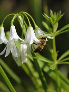 20130921_1039_0234 angled onion bee