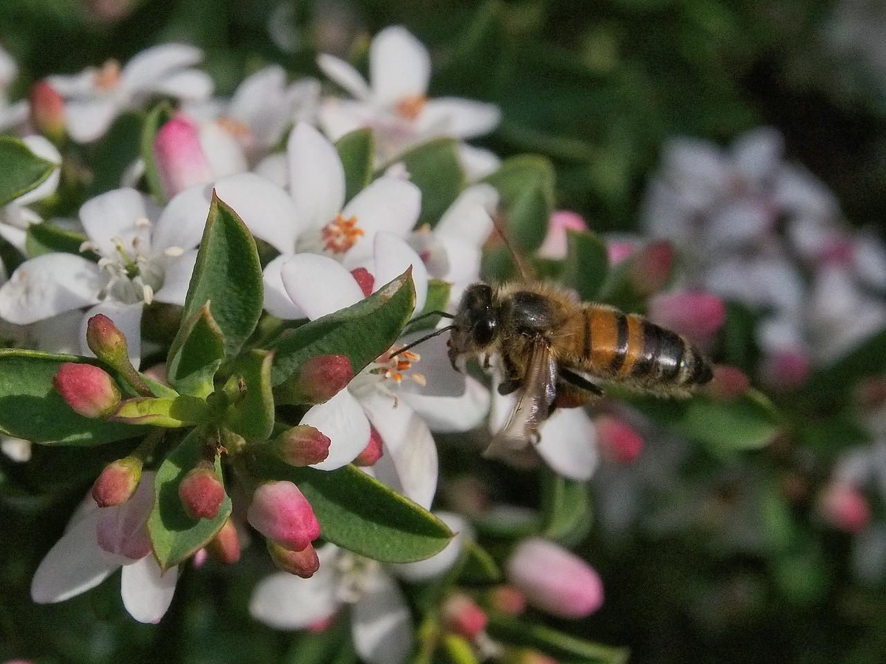 20130901_1218_1720 Kew Baptist bee