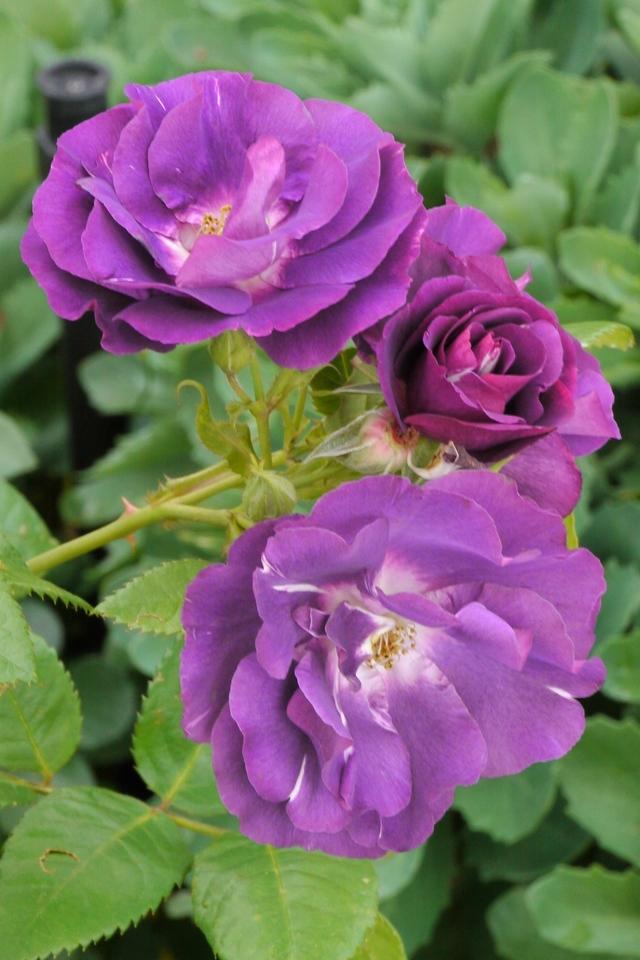 20131103_1011_2655 roses