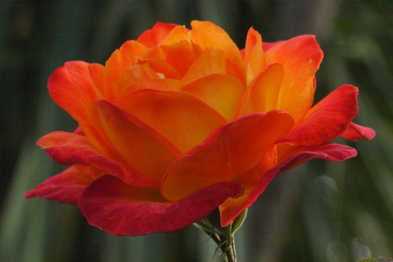 20131117_0838_2904 rose