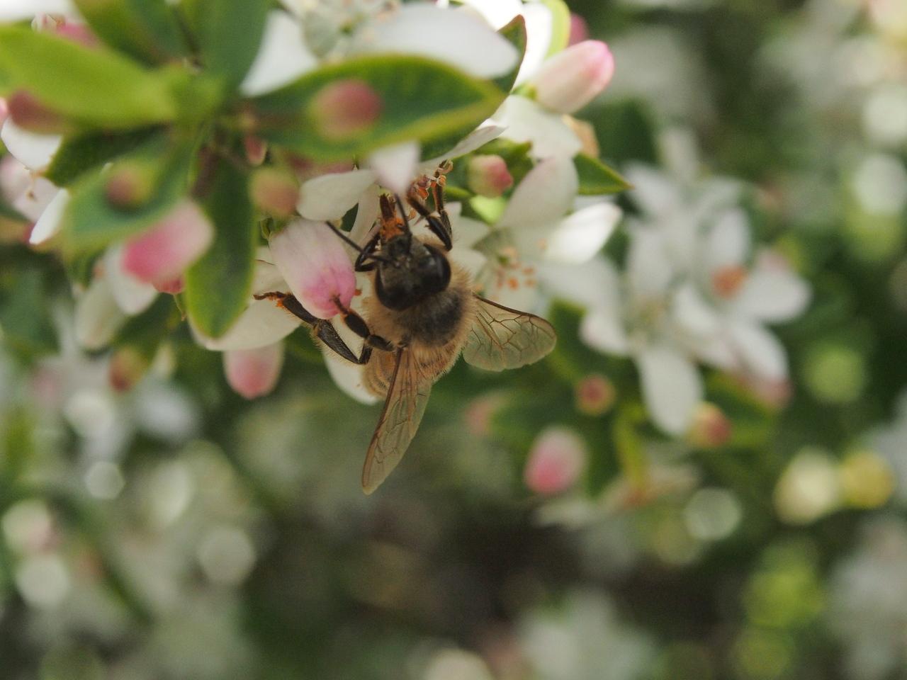 20130901_1225_1805 Kew Baptist bee