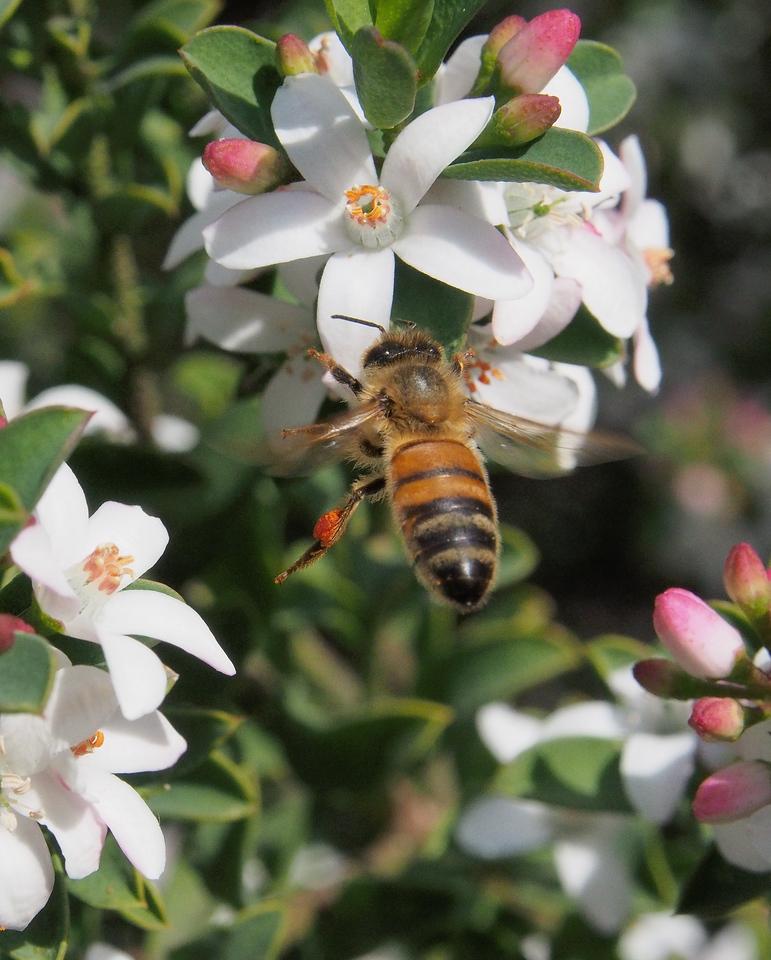 20130901_1215_0614 Kew Baptist Bee