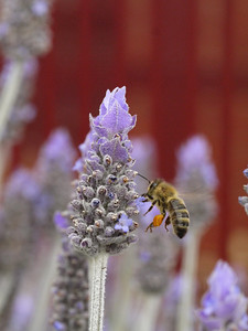 20130924_1211_0448 lavender and bee