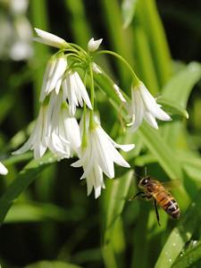 20130921_1056_0270 angled onion bee