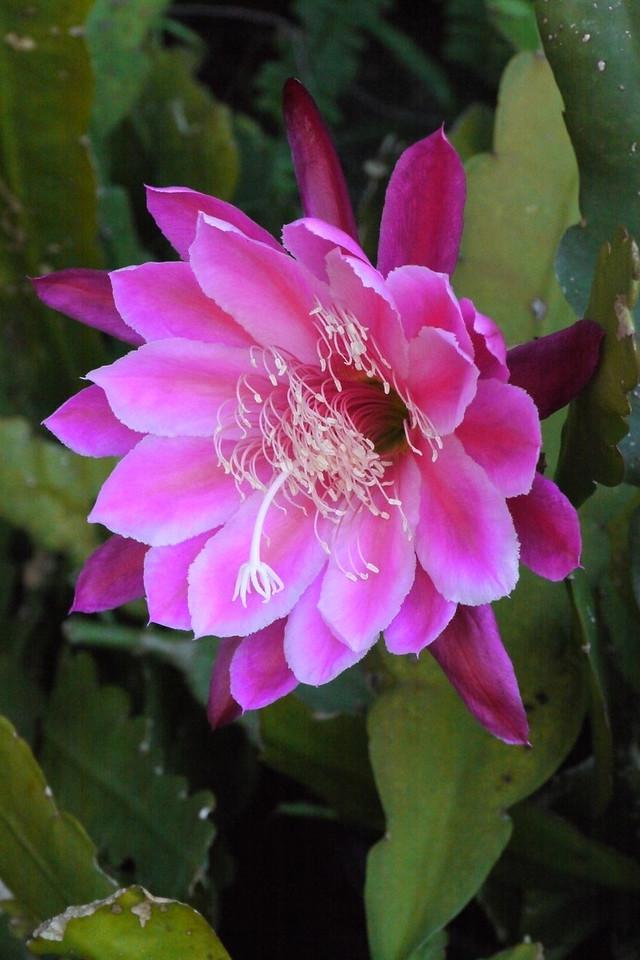 20131126_0756_4731 epiphyllum