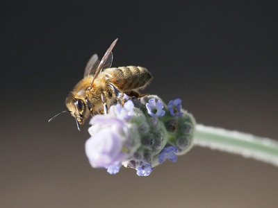 20130915_1601_3088 lavender bee