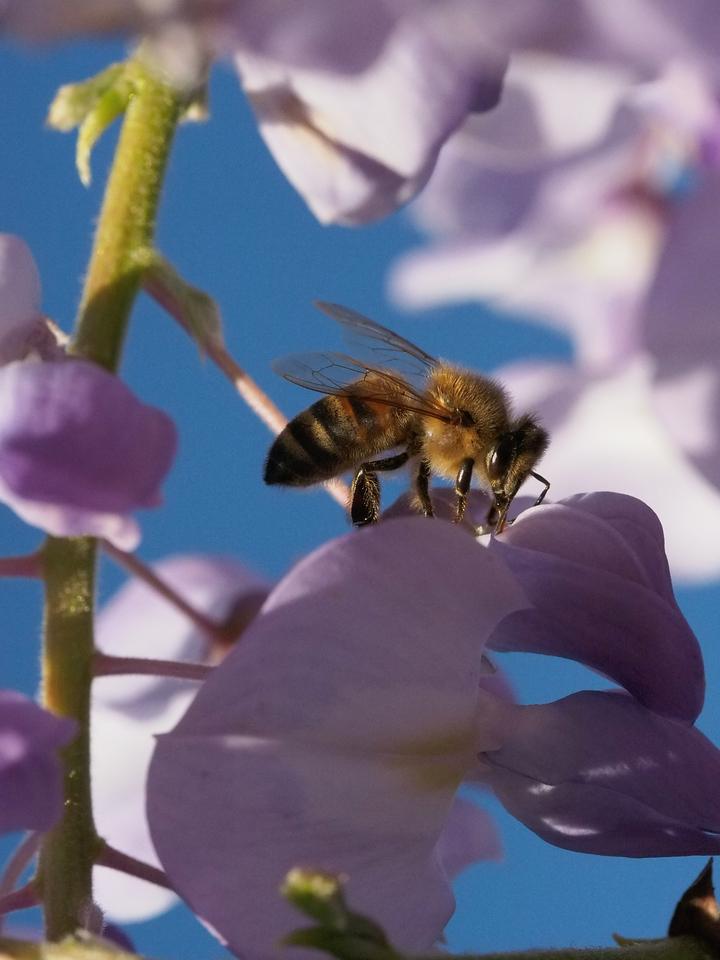 20130922_1647_4306 wisteria bee