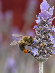 20130924_1210_0440 lavender and bee