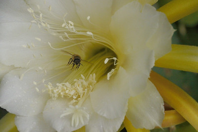 20131130_0812_4954 epiphyllum and bee