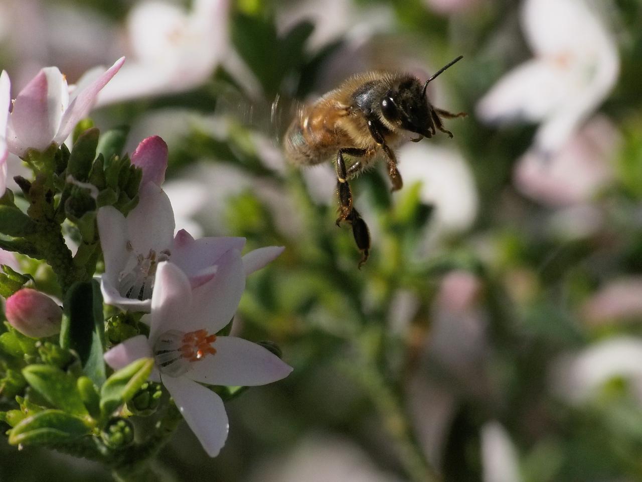 20130908_1448_2100 Kew Baptist bee