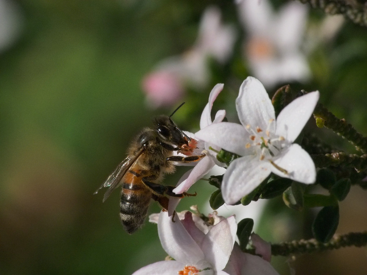 20130908_1449_2120 Kew Baptist bee